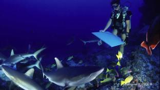Peinture en immersion de Malvina à Rangiroa au milieu des requins